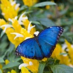 Blue Morpho Butterfly special at Callaway Gardens