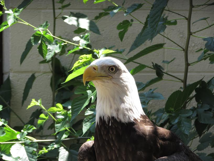 Zoo Atlanta Bald Eagle